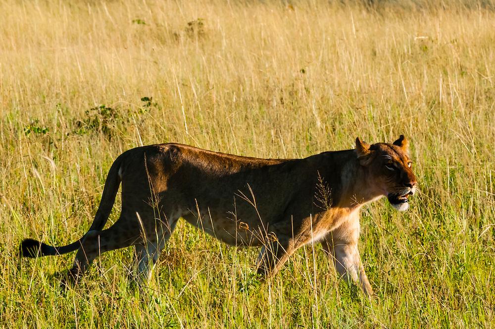 Lioness walking, Kwando Concession, Linyanti Marshes, Botswana.