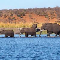 Alberto Carrera, Elephant, Loxodonta africana, Chobe River, Chobe National Park, Botswana, Africa