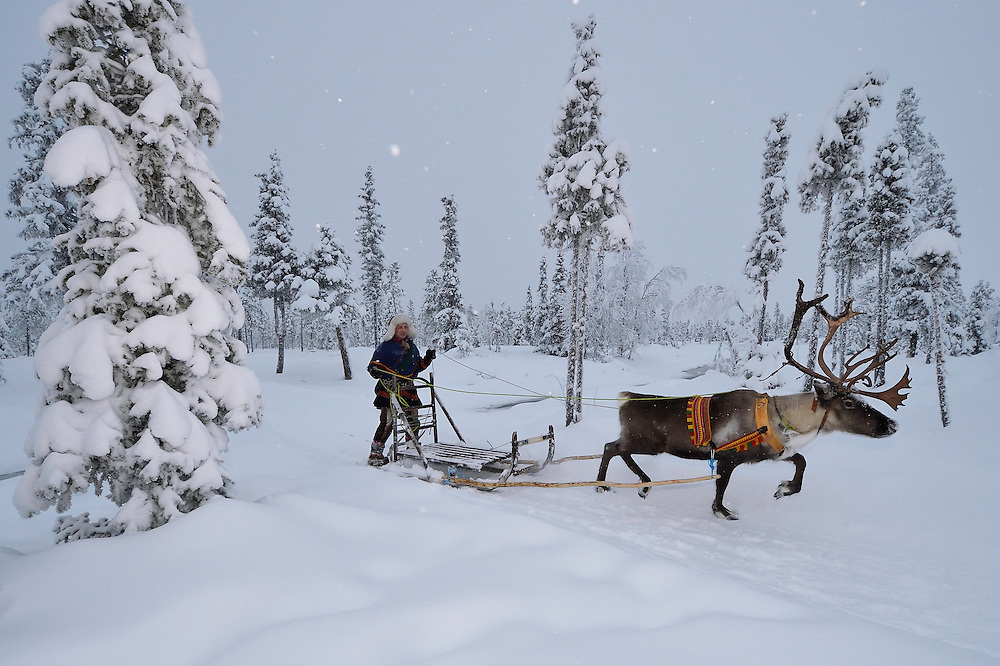 Reindeer sledding in - 25 C, with Nils-Torbjörn Nutti, owner and operator of Nutti Sámi Siida, Jukkasjärvi, Lapland, Laponia, Norrbotten county, Sweden