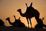 Essakane, Mali, West Africa - The local Taureg men arrive by camel to the Festival Au desert.