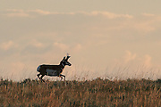 Buck Pronghorn (antelope) running in habitat