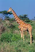 Reticulated giraffe Samburu