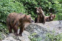 USA, Alaska, three Brown Bears on rocks