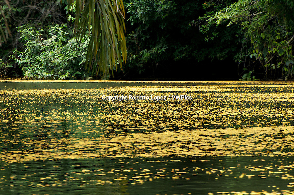 Yellow leaves floating over the Tortuguero river at the Northern Caribbean Coast, Limon, Costa Rica.