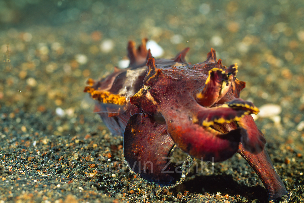 Flamboyant cuttlefish ( Metasepia pfefferi ) hovering over the sand (Sepiida) Pacific Ocean, Sulawesi, Indonesia, Asia