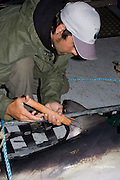 Joey Pratt, research director of Canadian Shark Conservation Society, places a spaghetti tag into the dorsal fin of a porbeagle shark, Lamna nasus, for research, New Brunswick, Canada ( Bay of Fundy )