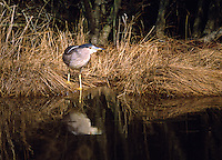 A black-crowned Night-Heron Nycticorax nycticorax, fishes along the side of a canal in Chicoteague National Wildlife Refuge, Chincoteague Virginia.