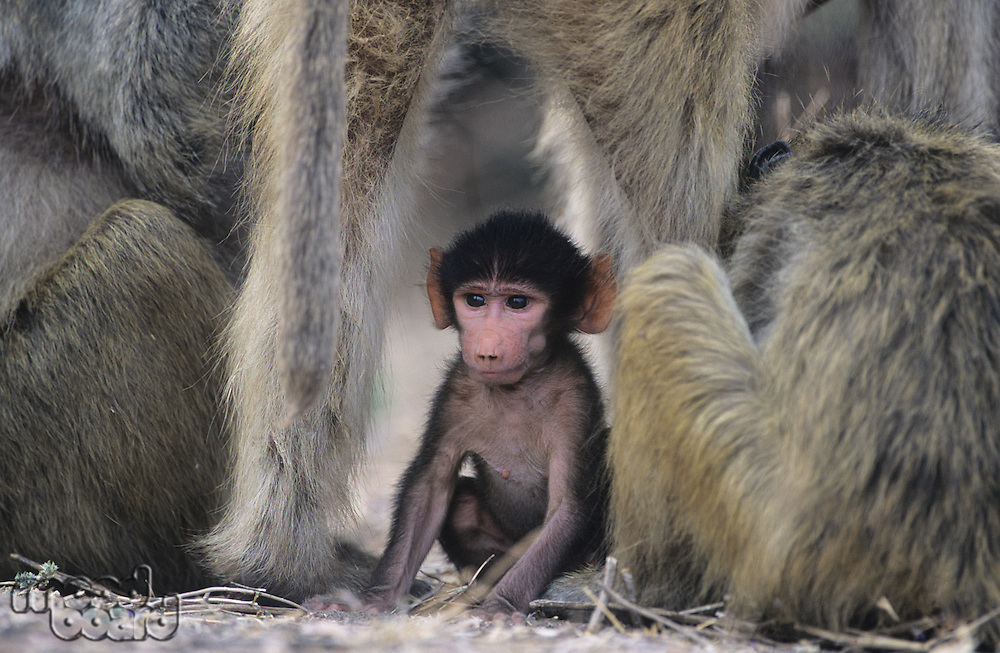 Baby Monkey sitting with adults