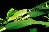 Green lizard among leaves