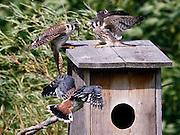 American Kestrel fledglings with female feeding