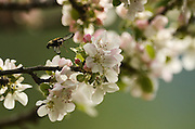 A hummingbird clearwing moth getting nectar from an apple tree blossom at the Bull River Guard Station, one of the original ranger stations in the Kootenai National Forest. Bull River Valley, northwest Montana.