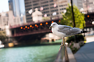 A seagull sitting on the railings of the Chicago Riverwalk, looking back towards Michigan Avenue. The riverwalk is a pavement running along the Chicago river from Lake Shore Drive to Franklin Street.