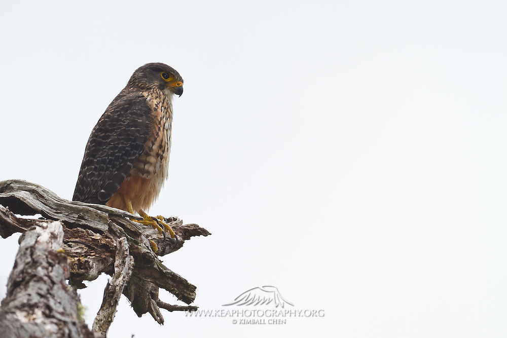 New Zealand Falcon, Fiordland