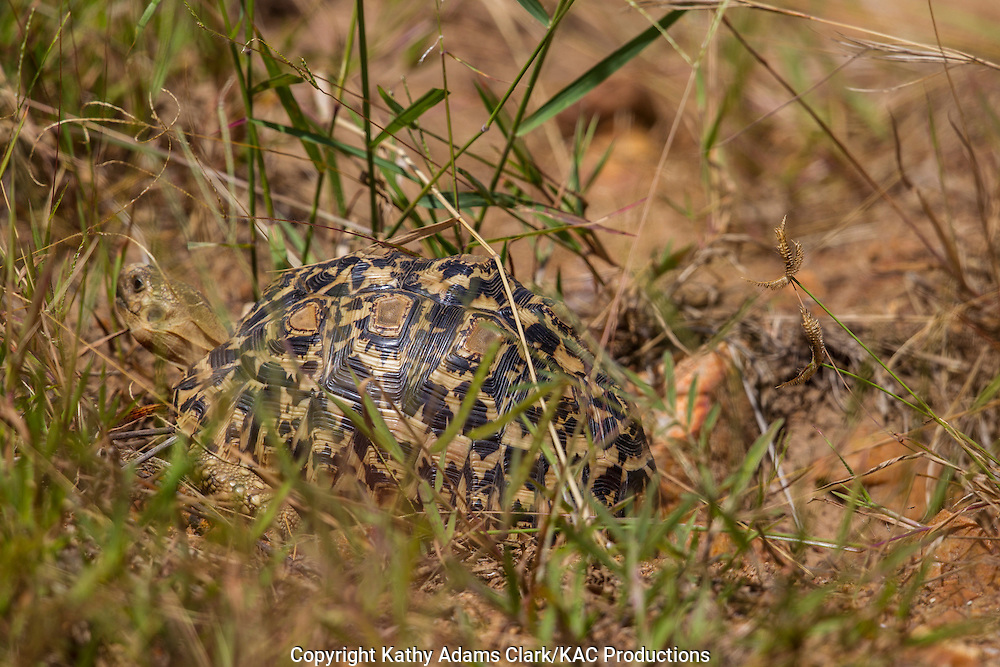 Leopard tortoise, Stigmochelys pardalis, Serengeti, Tanzania, Africa.