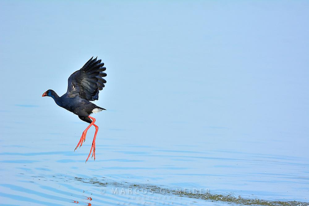 EN. Purple gallinule (Porphyrio porphyrio) taking off. Do&ntilde;ana National Park, Seville, Andalucia, Spain.<br /> ES. Calam&oacute;n com&uacute;n (Porphyrio porphyrio) alzando el vuelo. Parque Nacional de Do&ntilde;ana, Sevilla, Andaluc&iacute;a, Espa&ntilde;a.