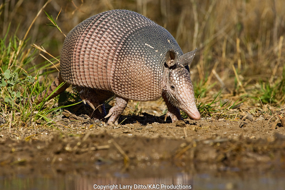 Nine-banded Armadillo (Dasypus novemcinctus) drinking, south Texas