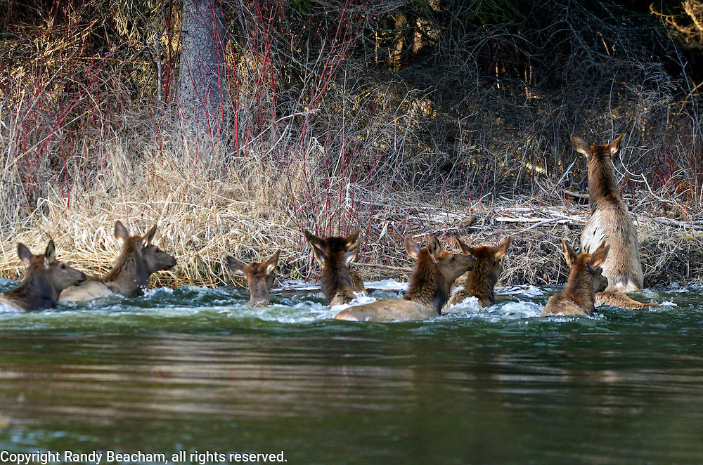 An elk herd crosses the Yaak River in spring. Yaak Valley, Montana.