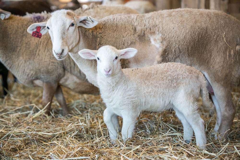 A ewe stands next to her newborn lamb, College Park, Maryland