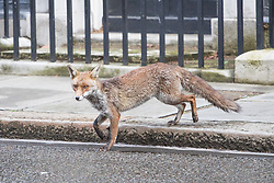 Downing Street, London, April 12th 2016. A fox wanders along Downing Street as ministers arrive for the weekly cabinet meeting. <br /> &copy;Paul Davey<br /> FOR LICENCING CONTACT: Paul Davey +44 (0) 7966 016 296 paul@pauldaveycreative.co.uk