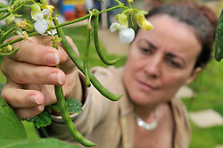 Woman picking dwarf runner beans in her back garden UK