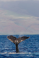 Humpback Whale, Megaptera novaeangliae, Tail Wave 7 of 8, Maui Hawaii