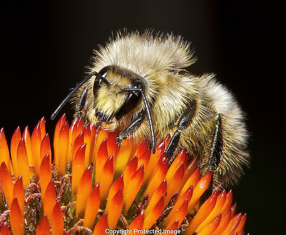 Yellow Bumble Bee. (Bombus fervidus), Courtenay, British Columbia, Canada, Photographer - Isobel Springett