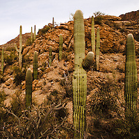 Saguaro National Park, Tucson. Saguaro landscape with a rocky hill