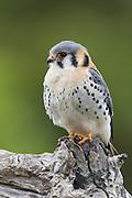 American Kestrel<br /> Falco sparverius<br /> Pantanal, Brazil