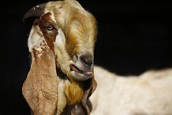 October 9, 2018 - Kathmandu, Nepal - Goats are pictured inside a livestock market put for sale ahead of Dashain festival in Kathmandu, Nepal on Tuesday, October 09, 2018. (Credit Image: © Skanda Gautam/ZUMA Wire)