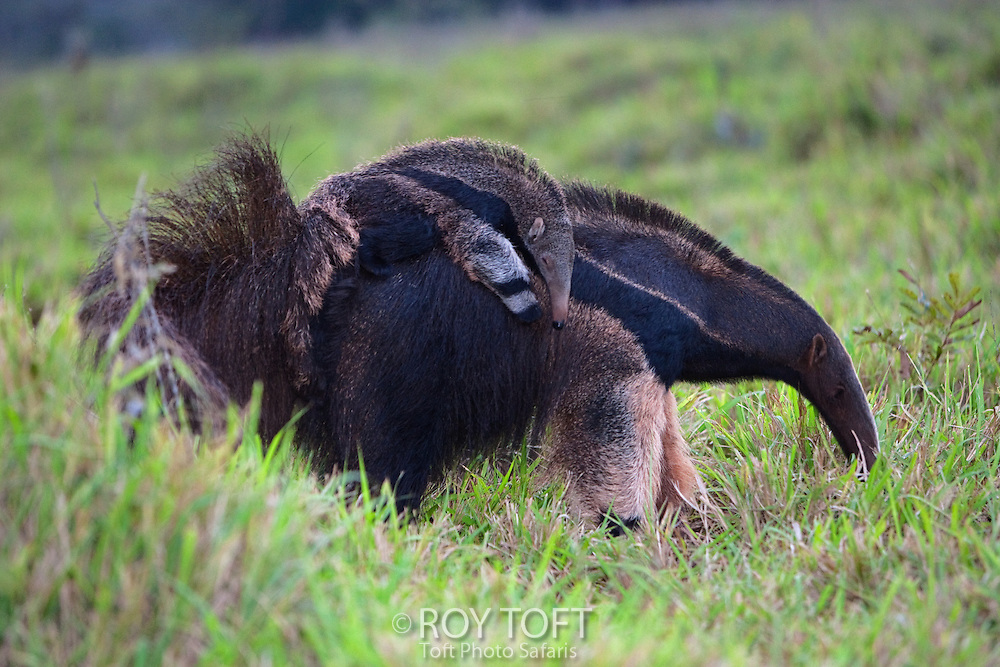 Giant Anteater (Myrmecophaga tridactya) mother carrying her baby on her back in the grasslands, Brazil