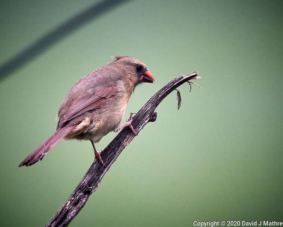 Northern Cardinal. Image taken with a Nikon D5 camera and 600 mm f/4 mm VR lens (ISO 1600, 600 mm, f/5.6, 1/1000 sec)
