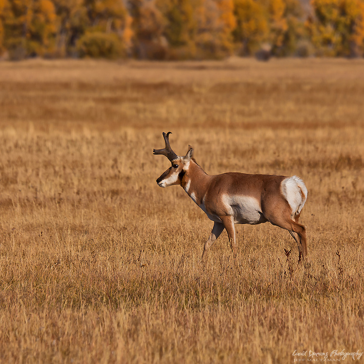 A pronghorn surveys the meadow in Grand Teton National Park