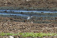 Terek Sandpiper photo Hawaii