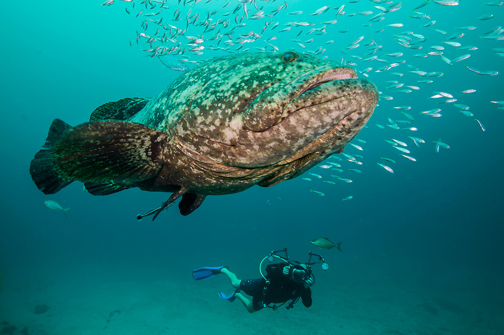 Scuba diver and Goliath Grouper, Epinephelus itajara, swim side by side on the wreck of the Zion in Jupiter, Florida, United States.