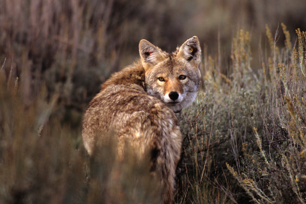 "A coyote briefly checks behind him before moving on. ""Marked"" because of tags in both ears."