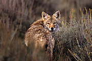 """A coyote briefly checks behind him before moving on. """"Marked"""" because of tags in both ears."""