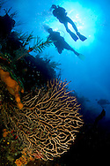 Scuba Divers swim along the coral reef wall in Belize, Central America.