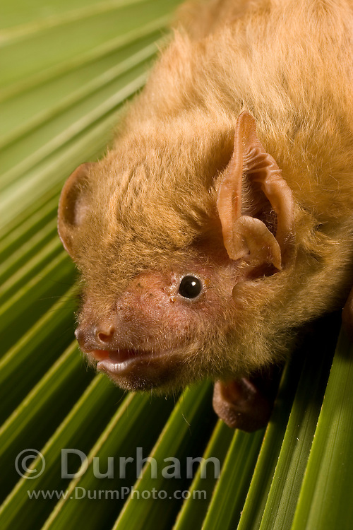 Northern Yellow Bat (Lasiurus intermedius), roosting in palm frond, Texas. These bats often roost in palm trees, where they are well concealed beneath the large, drooping fronds.