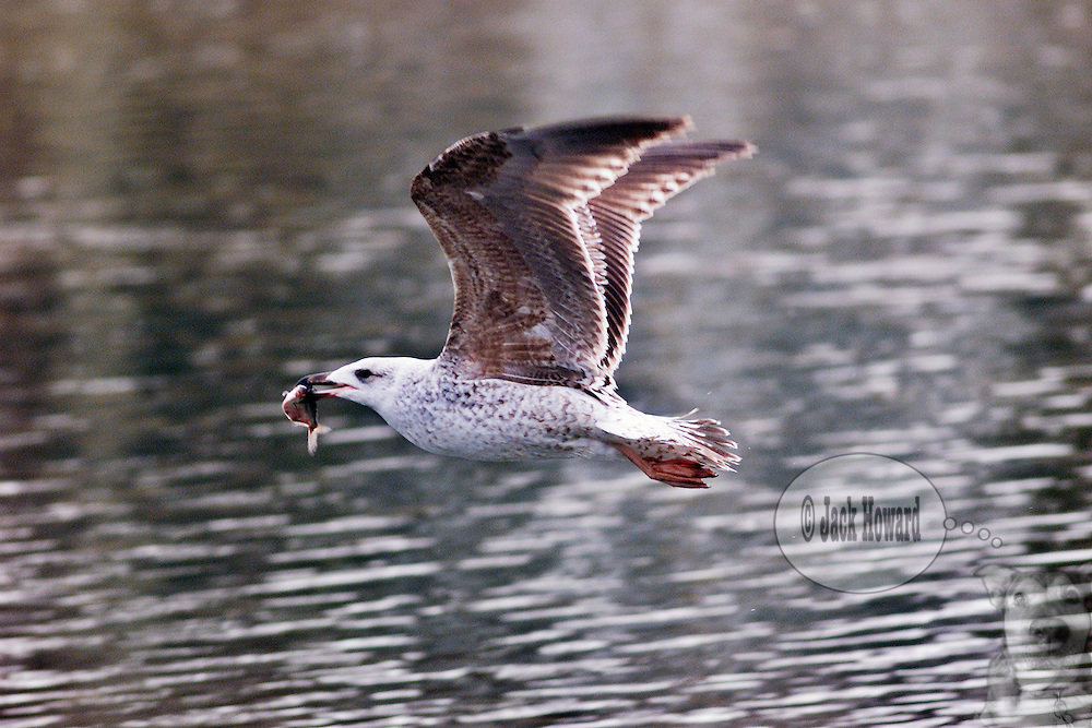 April 2003 - An immature Herring Gull, Larus Argentatus, flies over a lake with a freshly caught fish in its mouth...JACK HOWARD PHOTOGRAPH