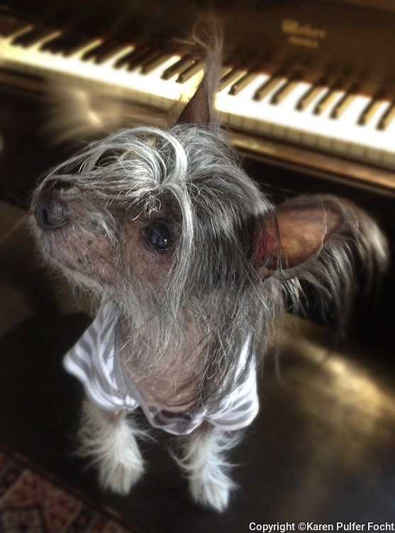 Hachoo is a Chinese crested dog is a hairless breed of dog. The tiny dogs are Lively, Playful, Alert, Sweet-Tempered, Happy, Affectionate.