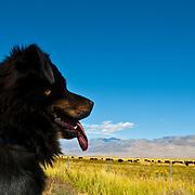 Dog staring. Bishop. California, USA.