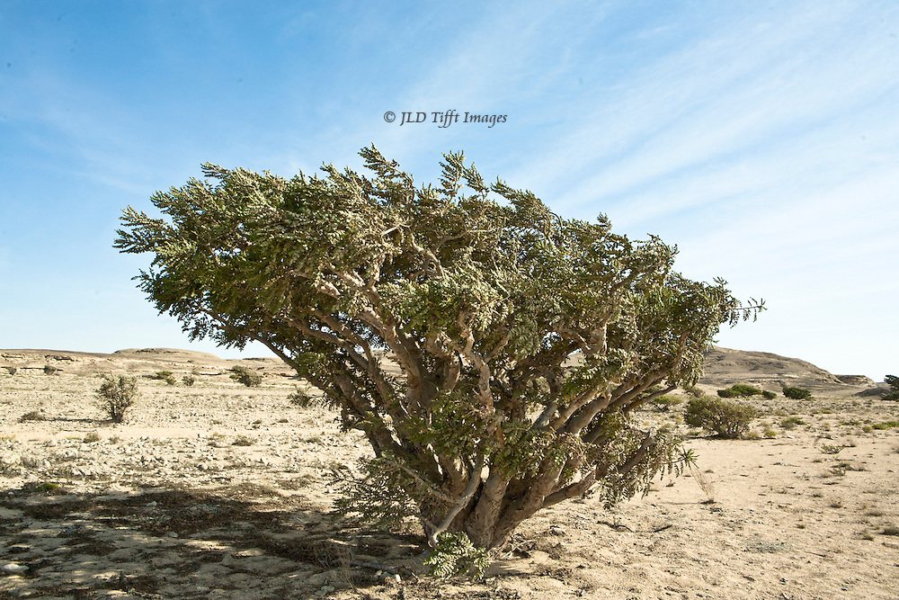Landscape with a single fully grown frankincense tree in the UNESCO-designated Land of Frankincense region of southwest Oman.