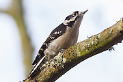 A hairy woodpecker (Leuconotopicus villosus) rests on a branch in the Washington Park Arboretum in Seattle, Washington. Hairy woodpeckers forage on trees, turning over bark or excavating to uncover insects. They also eat fruits, berries and nuts, and occasionally tree sap.
