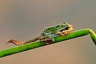 Deformed pacific tree frog, Hyla regilla, Wilson State Reserve, Oregon