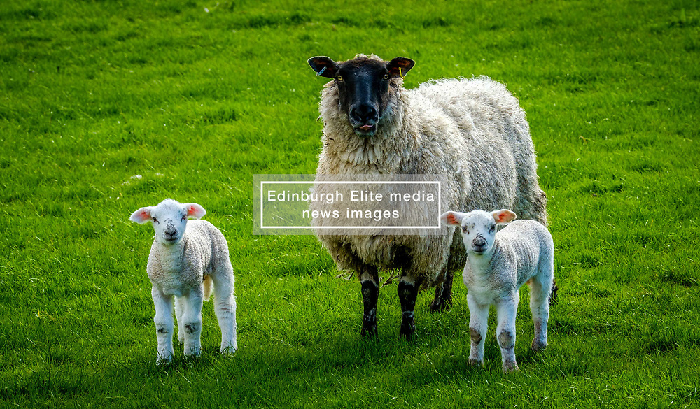 New born lambs with their mum on a farm in the Scottish borders<br /> <br /> (c) Andrew Wilson | Edinburgh Elite media