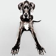Great Dane, animal photo, dog picture, pet photographer, dog photographer, LA headshot, LA studio photographer, LA dog photographer,