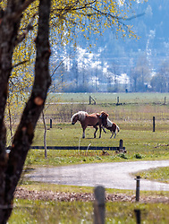THEMENBILD - Pferde spielen auf einer Wiese aufgenommen am 29. April 2017, Thumersbach, Österreich // Horses play on a meadow at Thumersbach, Austria 2017/04/29. EXPA Pictures © 2017, PhotoCredit: EXPA/ JFK