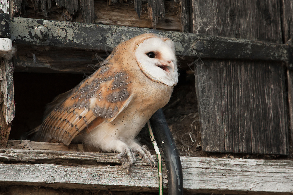 Barn Owl (Tyto Alba) juvenile about to fledge from hay-loft door in barn, Norfolk, UK.