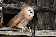 Barn Owl (Tyto Alba) juvenile about to fledge from hay-loft door in barn, Norfolk, UK.