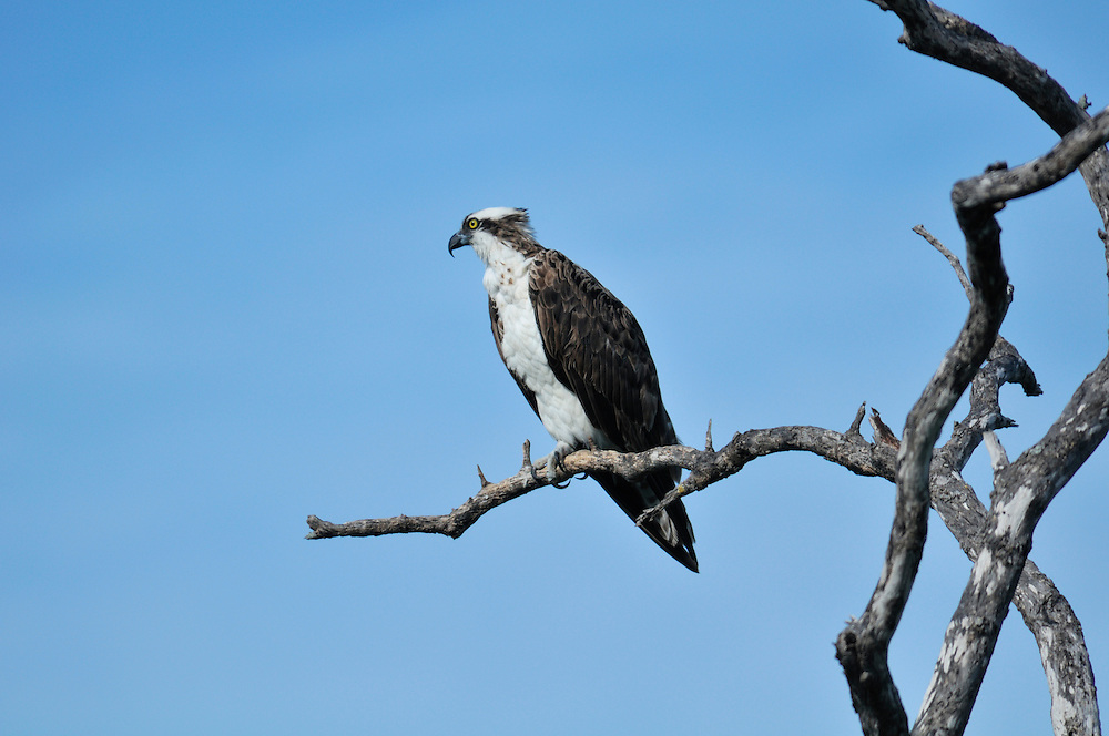 "Osprey at J.N. ""Ding"" Darling National Wildlife Refuge, Sanibel Island, near Fort Myers, Florida, USA"